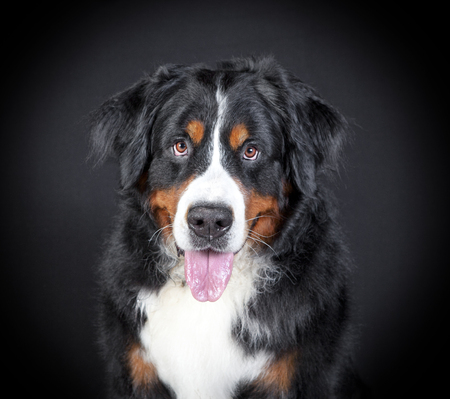 a Bernese Mountain dog sits and looks at the camera, background black