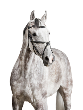 A white horse with bridle against a white background, released Stock Photo
