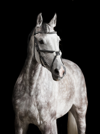 A white horse with bridle against black background