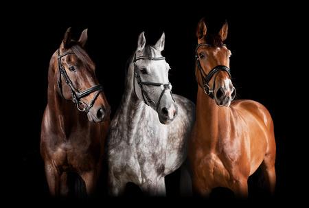 Drie paarden met teugel tegen zwarte achtergrond