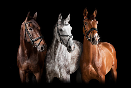 Three horses with bridle against black background Foto de archivo