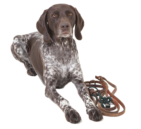 a german shorthair dog lying in front of white background, isolated