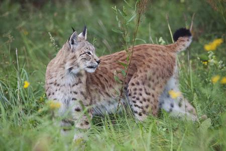 a Eurasian lynx on a meadow in summer looking backwards
