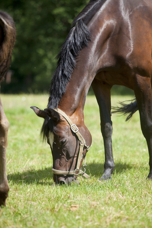 brown horse with halter on a summer pasture is stung by brakes and flies