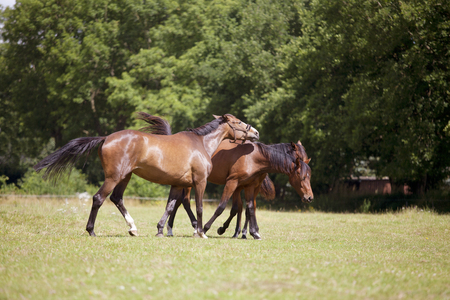 brown horses on a summer pasture are stung by brakes and flies Stock Photo