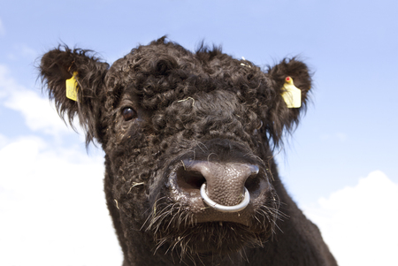 Bull With Nose Ring Stock Photos And Images 123rf