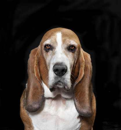 Head of a Basset Hound breed dog in front of black background