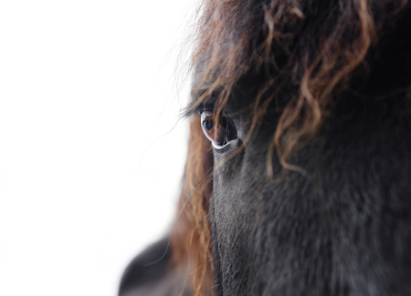 the head of a black friesian horse against white background Stock Photo