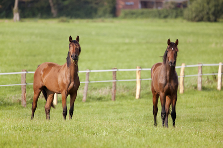 two young brown horses are standing on a meadow looking curious