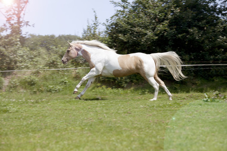 a fancy white-brown Palomino horse gallops on a pasture