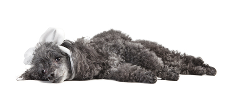 a gray curly poodle dog ill with a bandage around his head, cut out