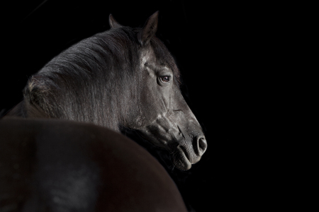 a black horse in front of black background in the studio Фото со стока