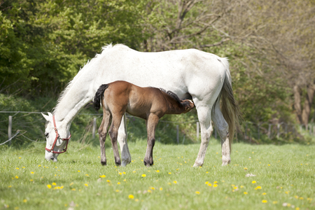Mare and foal the first time out after the birth, drinking milk on the udder Stok Fotoğraf