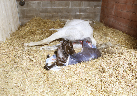 a white mare gave birth to a foal in the stable Stock Photo
