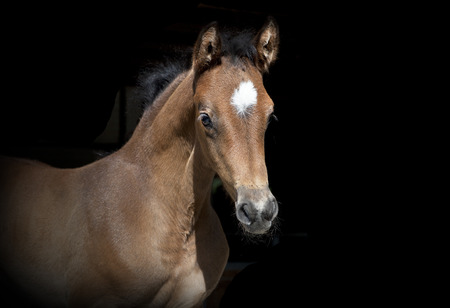 a young brown foal in the sunlight, background dark