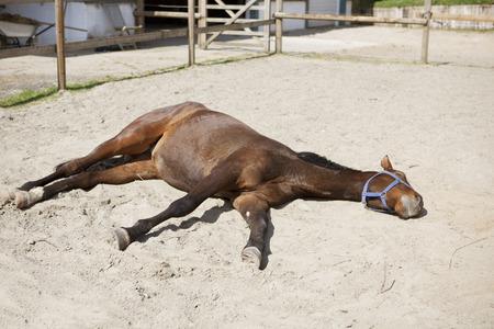 a brown horse is sleeping lying in the sun on a paddock Reklamní fotografie