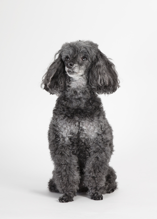 a gray poodle, sitting in the studio against a white background, isolated