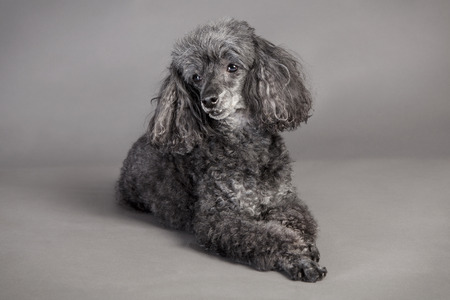 a gray poodle, lying in the studio in front of dark background Reklamní fotografie