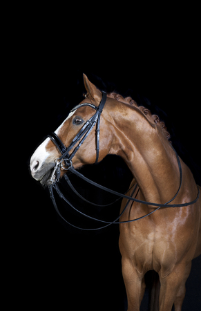 a brown riding horse in the studio in front of black background Reklamní fotografie