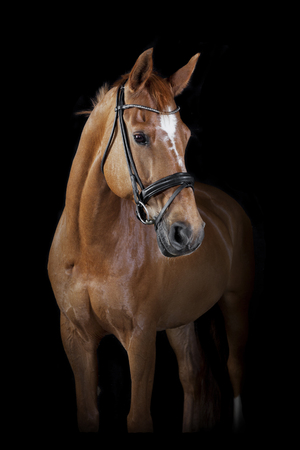 a brown riding horse in the studio in front of black background Stockfoto