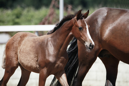 a young and pretty brown foal next to his mother on a foal show Reklamní fotografie