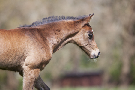 a young brown foal in summer on a pasture, closeup Reklamní fotografie