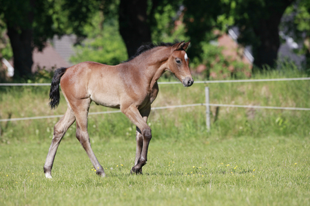 a young brown foal in summer on a pasture Reklamní fotografie
