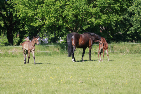 a mare with two foals in the pasture