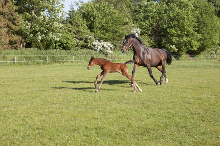 a mare and a young brown foal in summer on a pasture