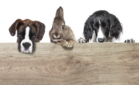 a rabbit with brown gray coat and two dogs isolated against a white background