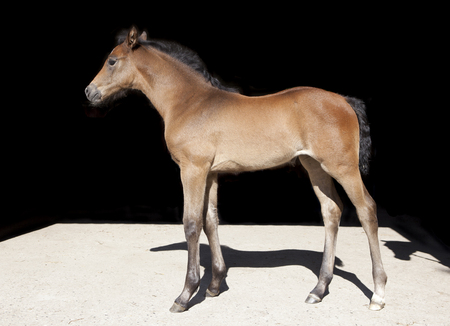 a young Holsteiner foal from the side Photographed in front of black background Reklamní fotografie