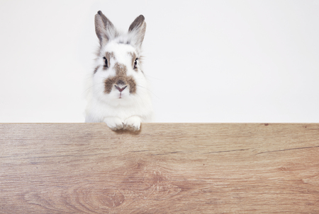 a white-brown rabbit looks into the camera over a wooden board. Background white Reklamní fotografie