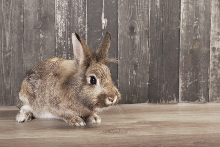 a gray-brown rabbit looks into the camera. Background wooden
