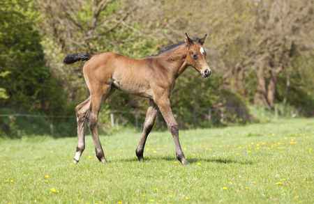 a young brown Holsteiner foal in spring on a green pasture Reklamní fotografie