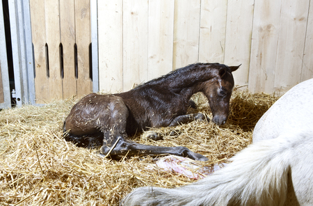 a brown foal is born in a horse box and lies in the straw Reklamní fotografie