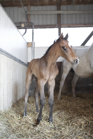 a brown foal is born in a horse box and gets up for the first time 스톡 콘텐츠