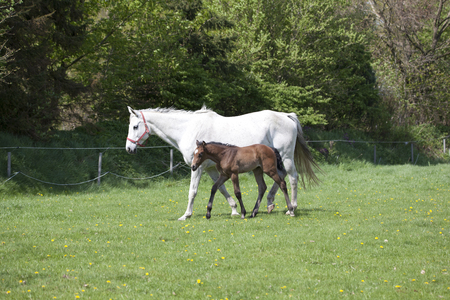 a brown foal that is one day old runs the first time with the mother mare in the pasture