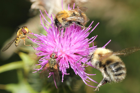 hover: honey bee and hover fly on a thistle Stock Photo