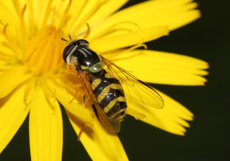 hover: Hover fly on a yellow dandelion macro