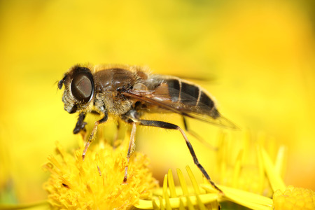 hayfever: fly resting on yellow summer wildflowers macro