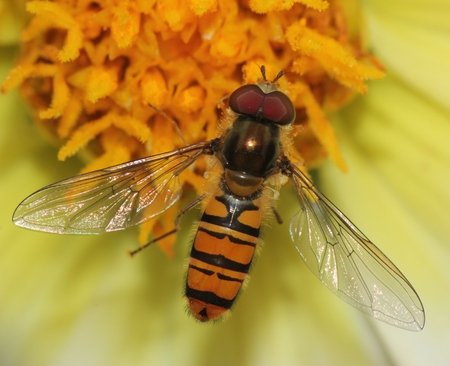 hover: hover fly on a flower close up macro