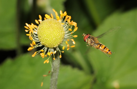 hover: hover fly in flight to a wildflower Stock Photo