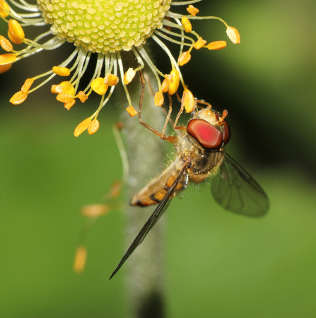 hover: hover fly on a wildlflower