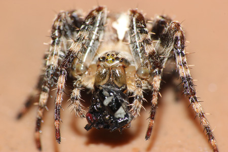 eight legs: macro image of a spider eating a fly that had been trapped in the spiders web