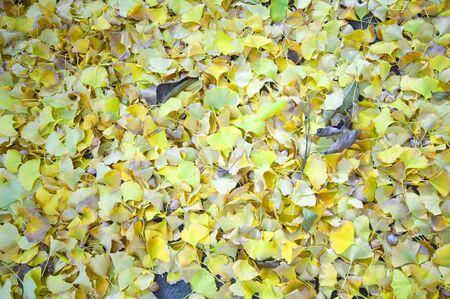 Gingko tree 写真素材