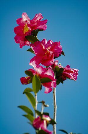 Camellia, red