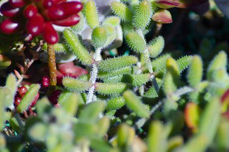 Echeveria, succulent 写真素材