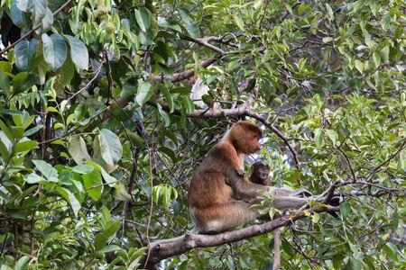 proboscis: Proboscis Monkey