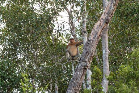 proboscis: Indonesia Proboscis Monkey