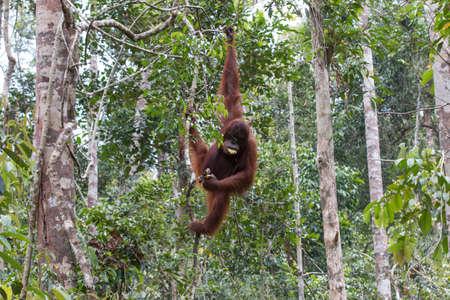 humane: Orangutan Rainforest Stock Photo